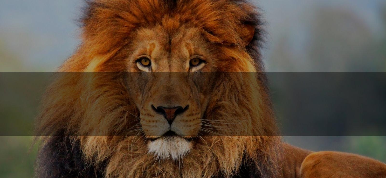 lion-shade4
